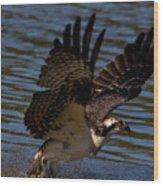 Osprey Catching A Fish Wood Print