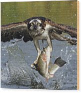 Osprey Catching Trout Wood Print