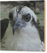 Osprey Portrait Wood Print