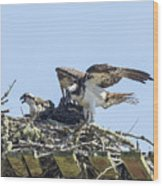 Osprey Family Portrait No. 1 Wood Print