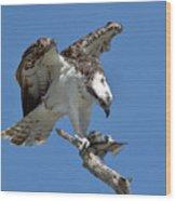 Osprey Feeding On A Fish Wood Print