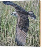 Osprey Flying  Wood Print