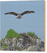 Osprey Flying Over A Bird's Nest Wood Print