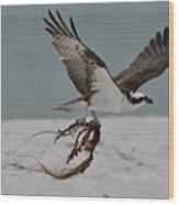 Osprey Flying With Seaweed Wood Print