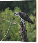 Osprey Gaze II Wood Print