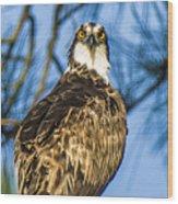 Osprey Head Turn Wood Print