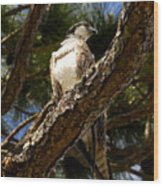 Osprey Hunting Wood Print