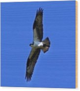 Osprey In Flight 1 Wood Print