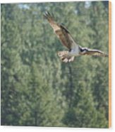 Osprey In Flight 6 Wood Print