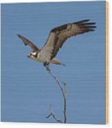 Osprey In Flight With Stick For Nest 031620160877 Wood Print