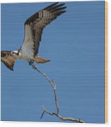 Osprey In Flight With Stick For Nest 031620160906 Wood Print