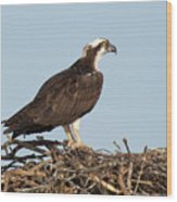 Osprey In Nest Wood Print