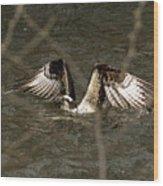 Osprey In The Creek Wood Print