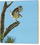 Osprey Landing Wood Print