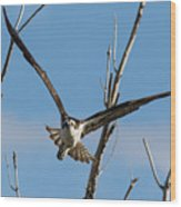 Osprey Launches Head On Wood Print