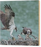 Osprey Male Bring Home The Dinner Wood Print