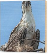 Osprey Nesting Wood Print