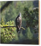Osprey On Branch Wood Print