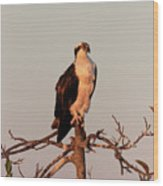 Osprey On The Caloosahatchee River In Florida Wood Print