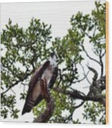 Osprey Perch  Wood Print