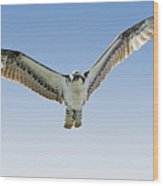 Osprey Soar Search Wood Print