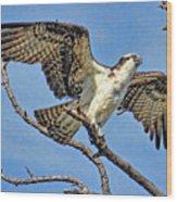 Osprey Wing Stretch Wood Print