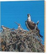 Osprey With Chicks Wood Print