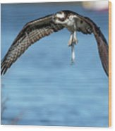 Osprey With Pin Fish Wood Print