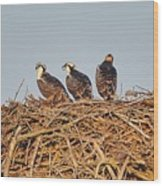 Osprey Young Wood Print
