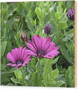 Osteospermum Flowers Wood Print