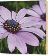Osteospermum 'margarita Lilac' Wood Print