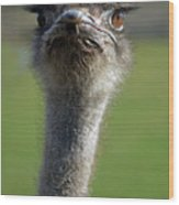 Ostrich What A Face Wood Print by Laura Mountainspring