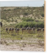 Ostriches Wood Print
