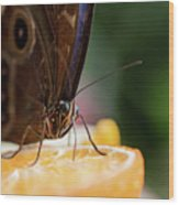 Owl Butterfly Feeding On An Orange Wood Print
