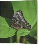 Owl Butterfly With Fantastic Distinctive Eyespots  Wood Print