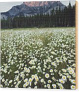Ox-eyed Daisies And Cascade Mountain Wood Print