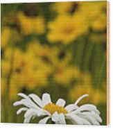 Ox Eyed Daisy 2 Wood Print