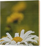 Ox Eyed Daisy Wood Print