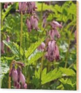 Pacific Bleeding Heart 2  Wood Print