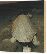Pacific Or Olive Ridley Turtle Laying Wood Print