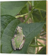 Pacific Tree Frog Wood Print by Shannon Gresham