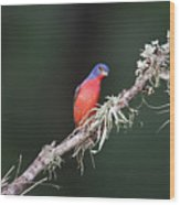 Painted Bunting Curiosity Wood Print