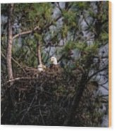 Pair Of Bald Eagles In Nest Wood Print