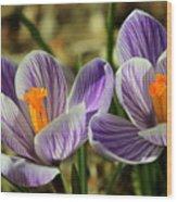 Pair Of Blooming Crocuses Wood Print