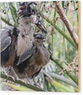 Pair Of Boat Billed Night Herons Share A Joke Wood Print