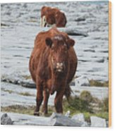 Pair Of Cows Grazing On The Burren In Ireland Wood Print