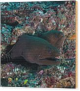 Pair Of Giant Moray Eels In Hole Wood Print