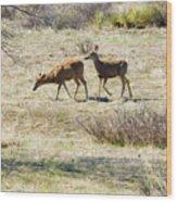 Pair Of Mule Deer Grazing At Chatfield Wood Print