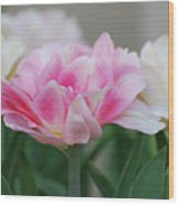 Pale Pink And White Parrot Tulips In A Garden Wood Print