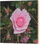 Pale Pink Rose Oregon Coast Wood Print